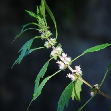 Benefits of Motherwort
