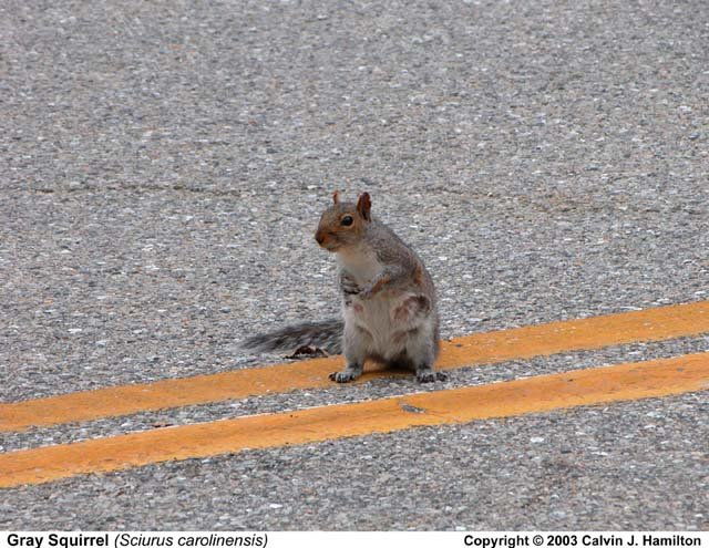 Ran Over Squirrel Road