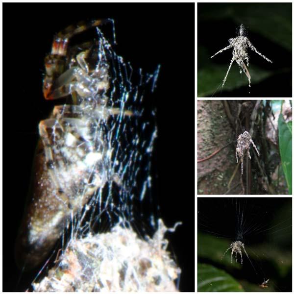 Links ziet u de echte spin. Rechts voorbeelden van spinnen die hij gemaakt heeft. Afbeelding: Jeff Cremer en Phil Torres (via Perunature.com).