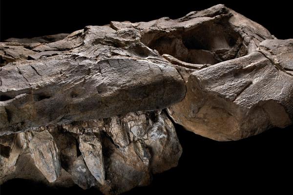 Een stukje van de kaak met daarin overduidelijk ook de tanden. Foto: John Weinstein, The Field Museum, Chicago.