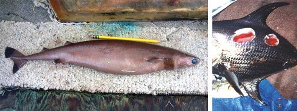 Links de koekjessnijder. Foto: NOAA. Rechts een vis die door de koekjessnijder is aangevallen en enkele stukken vlees mist. Foto: PIRO-NOAA Observer Program.