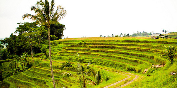 rijstplantage
