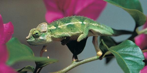 Hoehnel's kameleon ook wel bekend als helmkameleon behoort tot de hagedissenfamilie. Foto: Michele Menegon / ZSL
