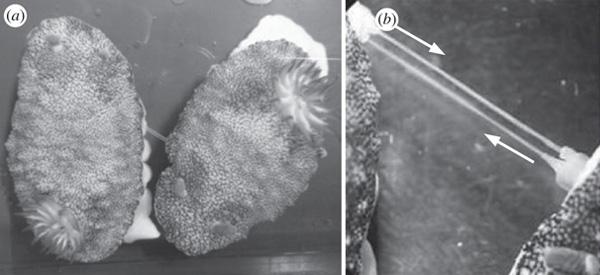 Twee zeeslakken plaatsen hun penissen in elkaars lijf. Foto: