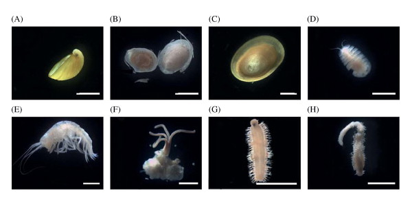 Organismen die op en nabij het skelet van de dwergvinvis werden aangetroffen. Plaatje F laat de worm zien die botten verteert. Foto's: via Deep-Sea Research II: Topical Studies in Oceanography - http://dx.doi.org/10.1016/j.dsr2.2013.01.028.