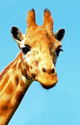 De giraf. Foto: Doug Wheller (cc via Flickr.com).