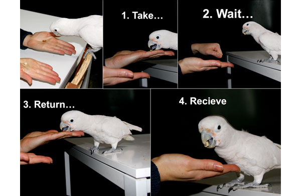 De opzet van het experiment. De vogel krijgt eerst beide beloningen te zien en mag de beloning in de linkerhand pakken. Het is vervolgens aan de vogel om te beslissen om deze wel of niet op te eten. Doet deze dat niet, dan mag deze de beloning na verloop van tijd teruggeven en de tweede beloning pakken. Foto: Universiteit van Wenen.