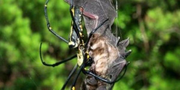 spin en vleermuis