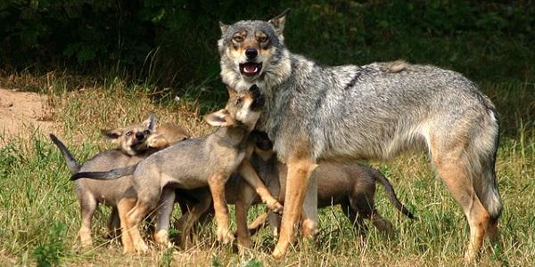 Moederwolf met haar jongen. Foto: Golo.