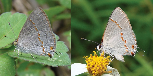 Foto: Robbins RK, Glassberg J (2013) A butterfly with olive green eyes discovered in the United States and the Neotropics (Lepidoptera, Lycaenidae, Eumaeini). ZooKeys 305: 1, doi: 10.3897/zookeys.305.5081