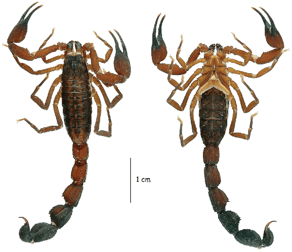Afbeelding: Lourenço, W.R, Ythier, E. (2013) The remarkable scorpion diversity in the Ecuadorian Andes and description of a new species of Tityus C. L. Koch, 1836 (Scorpiones, Buthidae). Zookeys 307: doi: 10.3897/zookeys.307.5334