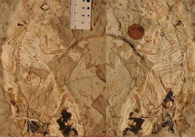 De fossiele resten die in Mongolië zijn aangetroffen. Foto: Zhe-Xi Luo, University of Chicago.