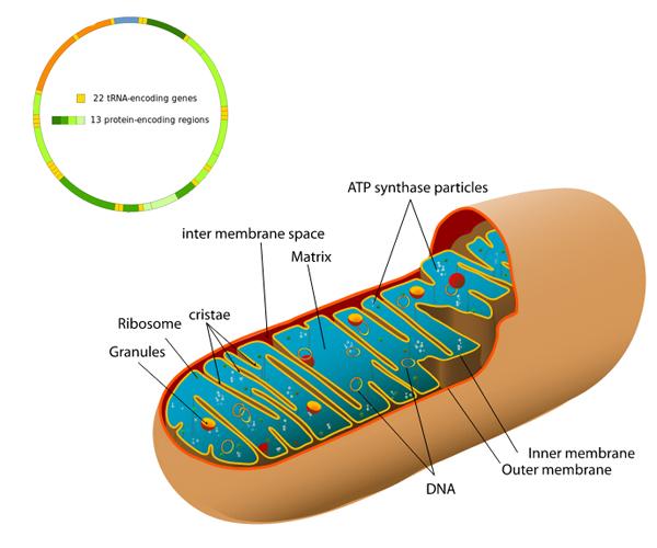 Een mitochondrion, met linksboven het mitochondriaal DNA. Afbeelding: Mariana Ruiz Villarreal LadyofHats. Inzet: Knopfkind / Shanel (beide afbeeldingen via Wikimedia Commons).