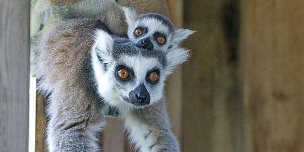Lemuren in de dierentuin. Foto: Russavia (via Wikimedia Commons).