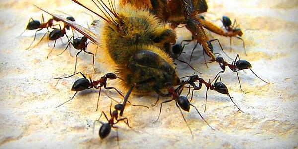 mieren verzamelen zich rond dode bij