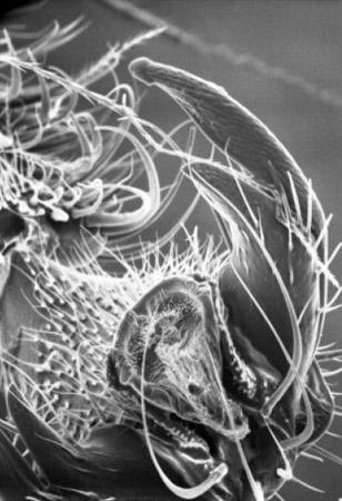 Het uiteinde van het pootje van een bij. De haarachtige structuren die gevoelig zijn voor zoetigheid bevinden zich op de klauw. Afbeelding:  de Brito Sanchez et al. / Frontiers in Neuroscience.