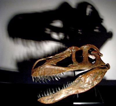De schedel van Torvosaurus gurneyi. Afbeelding: Christophe Hendrickx.