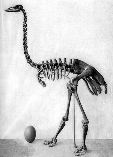 Het skelet van een olifantsvogel en daarnaast een olifantsvogelei. De olifantsvogel kon meer dan drie meter hoog worden en honderden kilo's wegen.
