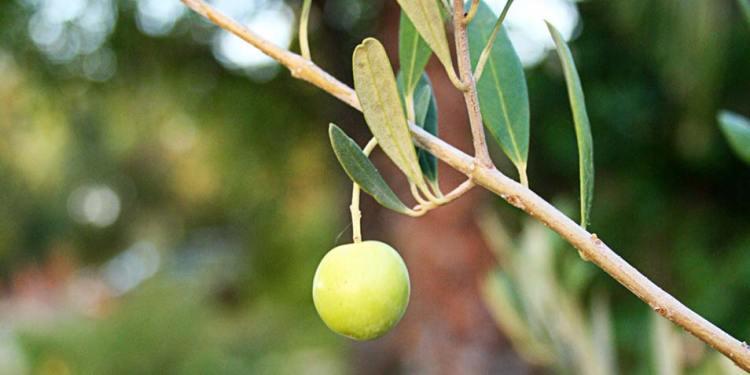 Een eenzame olijf. Afbeelding: Bongani (via Freeimages.com).