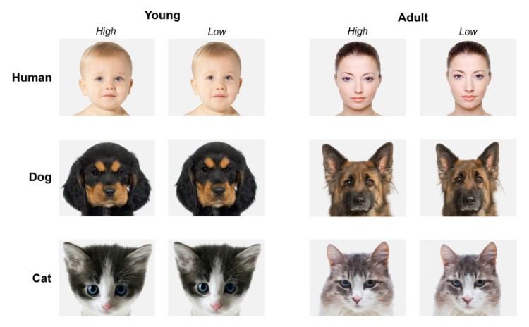 Links op deze afbeelding zie je elke keer schattige (links) en minder schattige (rechts) baby's, puppies en kittens. Rechts zie je datzelfde, maar dan met volwassen mensen en dieren. Afbeelding: universiteit van Lincoln.