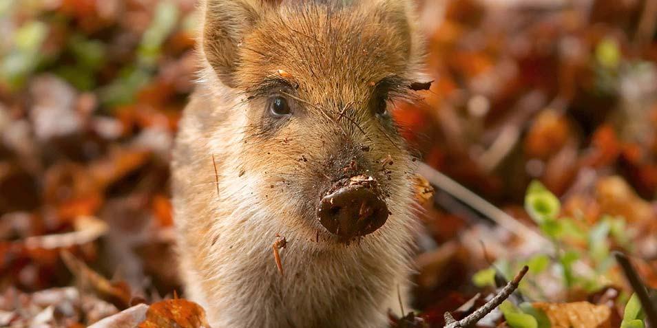 Aziatische genen in Europese varkens