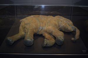 Lyuba is de best bewaarde mammoetbaby ter wereld. 37.000 jaar geleden stikte zij in de modder van een rivier. Ze was een maand oud. Klik voor een vergroting. Foto gemaakt door Evelien de Roode