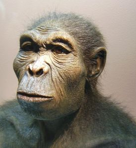 Homo habilis was de eerste moderne mens. Toch vinden veel wetenschappers dat de Homo habilis een overgangsvorm was: de brug van aapachtigen naar mensachtigen.