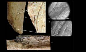 De botten van volwassen Neanderthalers. Volgens de onderzoekers zijn ze duidelijk bewerkt. De sneden in het bot zijn niet door dieren veroorzaakt. Afbeelding: M.D. Garralda et al.