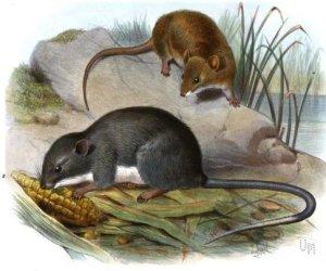 De Oryzomys couesi (boven) en de Tylomys panamensis (onder).