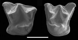 De tanden van de uitgestorven megavleermuis.