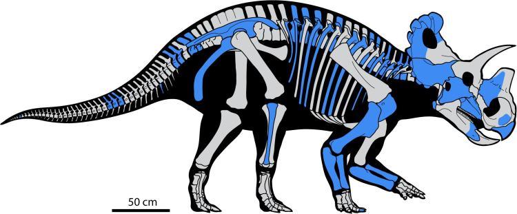 Reconstructie van het skelet van de nieuwe dino.
