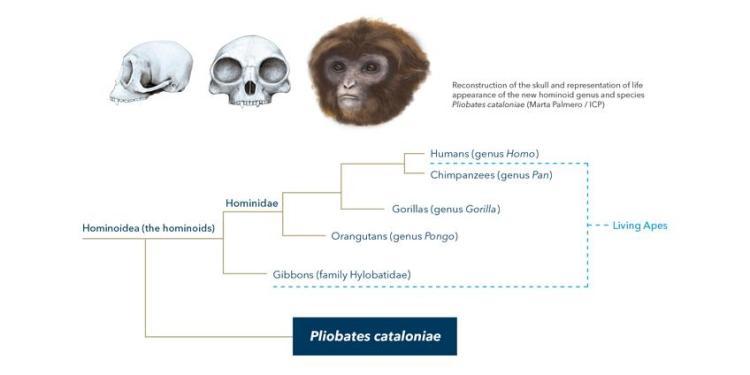 Deze afbeelding laat zien waar de nieuwe ontdekte soort thuishoort in de stamboom met apen en mensen. Afbeelding: Marta Palmero / ICP.