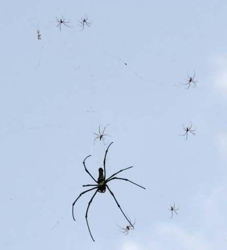 Een vrouwelijke spin die vele malen groter is dan de mannetjes die haar omringen. Afbeelding: Andreas Graichen (via Wikimedia Commons)