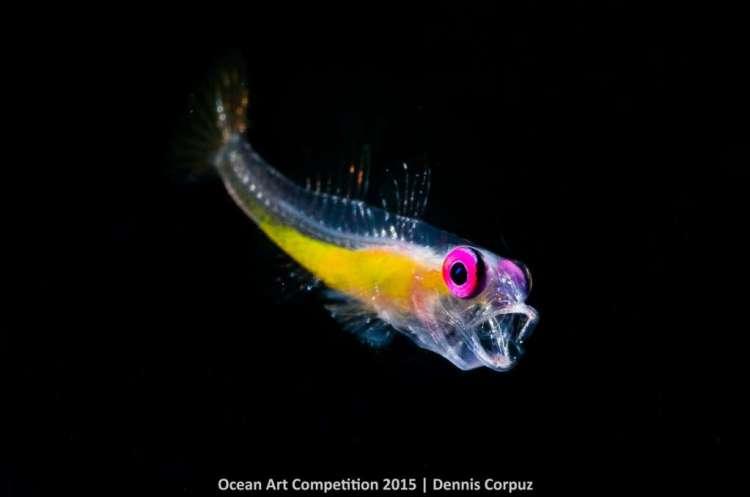 Hallo! Deze gobi gaapt, terwijl hij wordt vastgelegd door Dennis Corpuz. Let vooral op de mooie neonkleuren van dit visje.