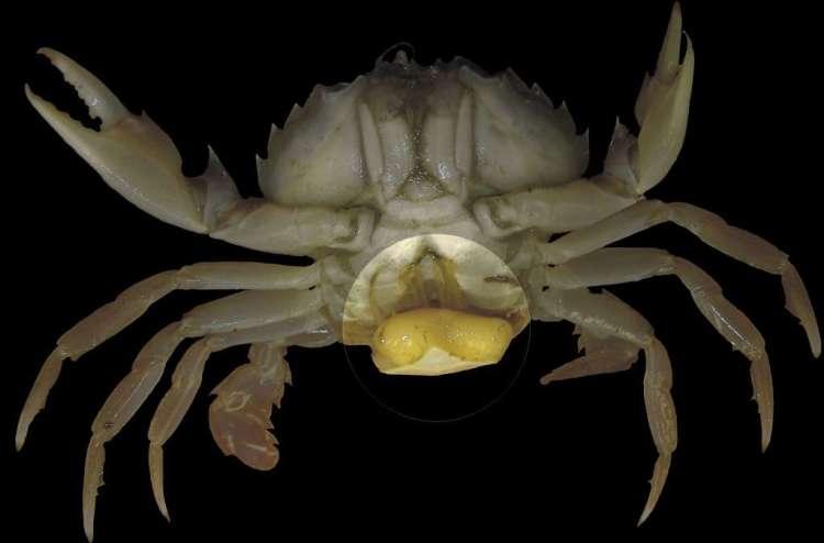 Sacculina carcini op het lichaam van een krab. Afbeelding: Hans Hillewaert (via Wikimedia Commons).