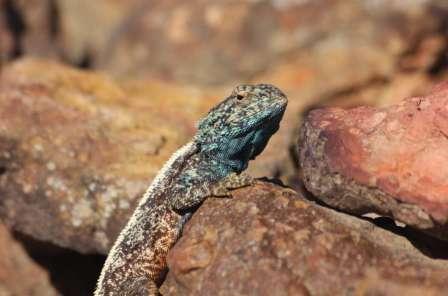 Een Southern Rock Agama (Agama atra) in Robberg Nature Reserve. Dit soort komt alleen voor in Zuid Afrika. Mannetjes staan bekend om hun blauwe kop. Deze hagedissen leven in rotsachtige gebieden.