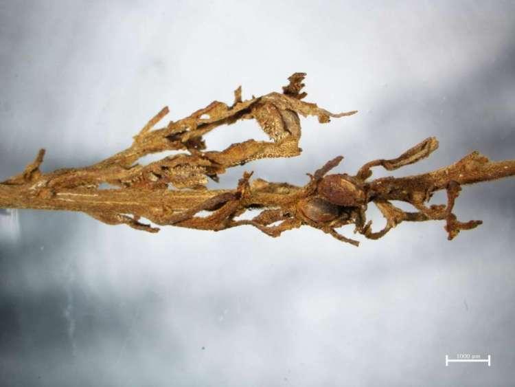 Eén van de gevonden cannabisplanten. De duidelijk zichtbare harsachtige haartjes bevatten THC: de psychoactieve stof waar cannabis om bekend is. Foto: Hongen Jiang / National Geographic.