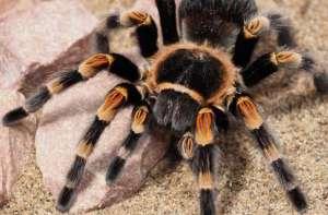 Zelfs baby's krijgen de kriebels van harige spinnen