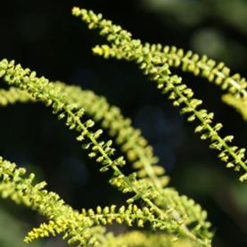RAGWEED POLLEN: Climate change is extending the pollen season for plants like ragweed in northern North America--bad news for allergy sufferers.