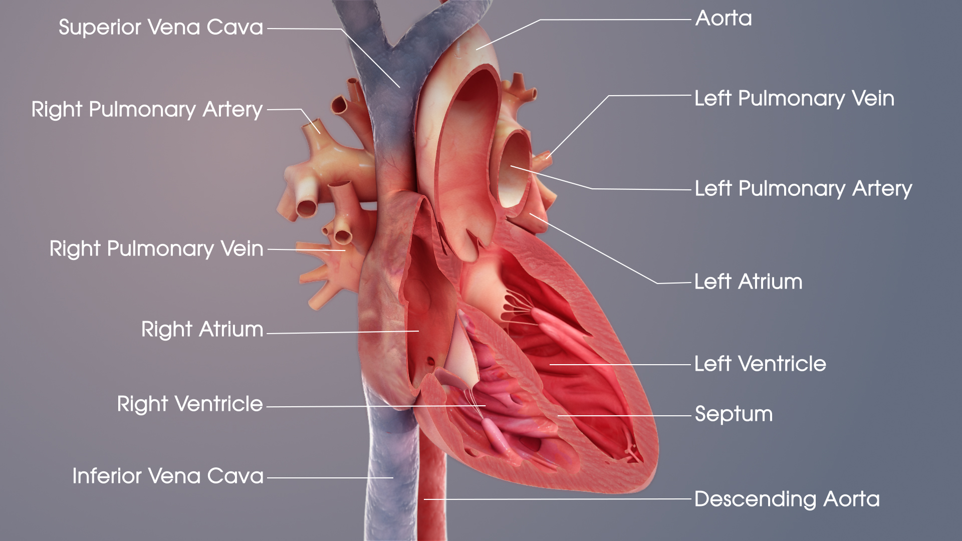 Medical Animations For Heart S Structure And Related