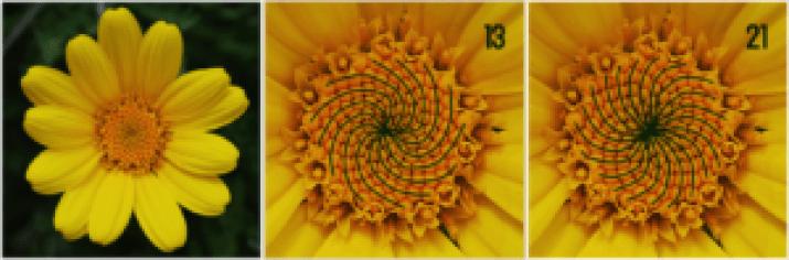 Spirali fiori fibonacci