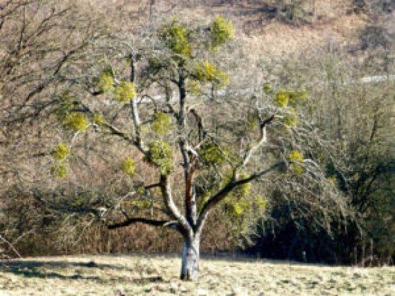 Vischio su albero