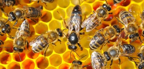 Salvare le api e riscrivere il genoma – Scientificast #191