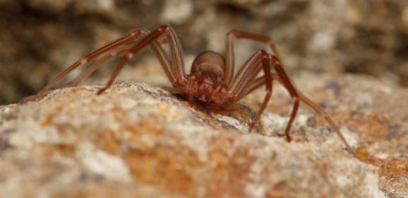 Il famigerato ragno violino