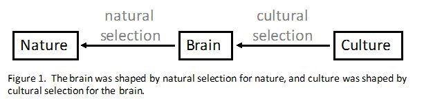 natural selection and cultural selection in shaping the brain