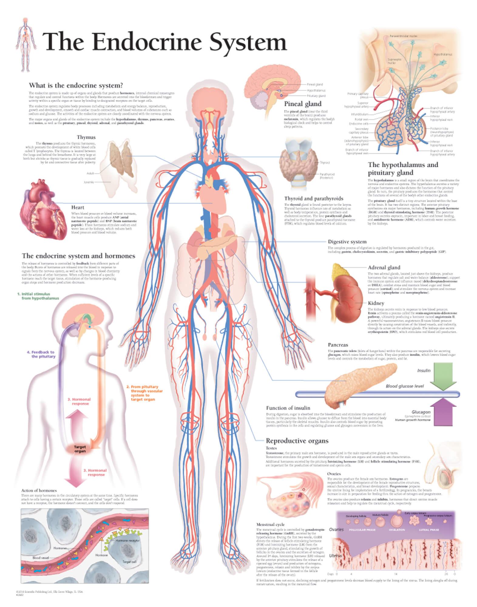 The Endocrine System Scientific Publishing