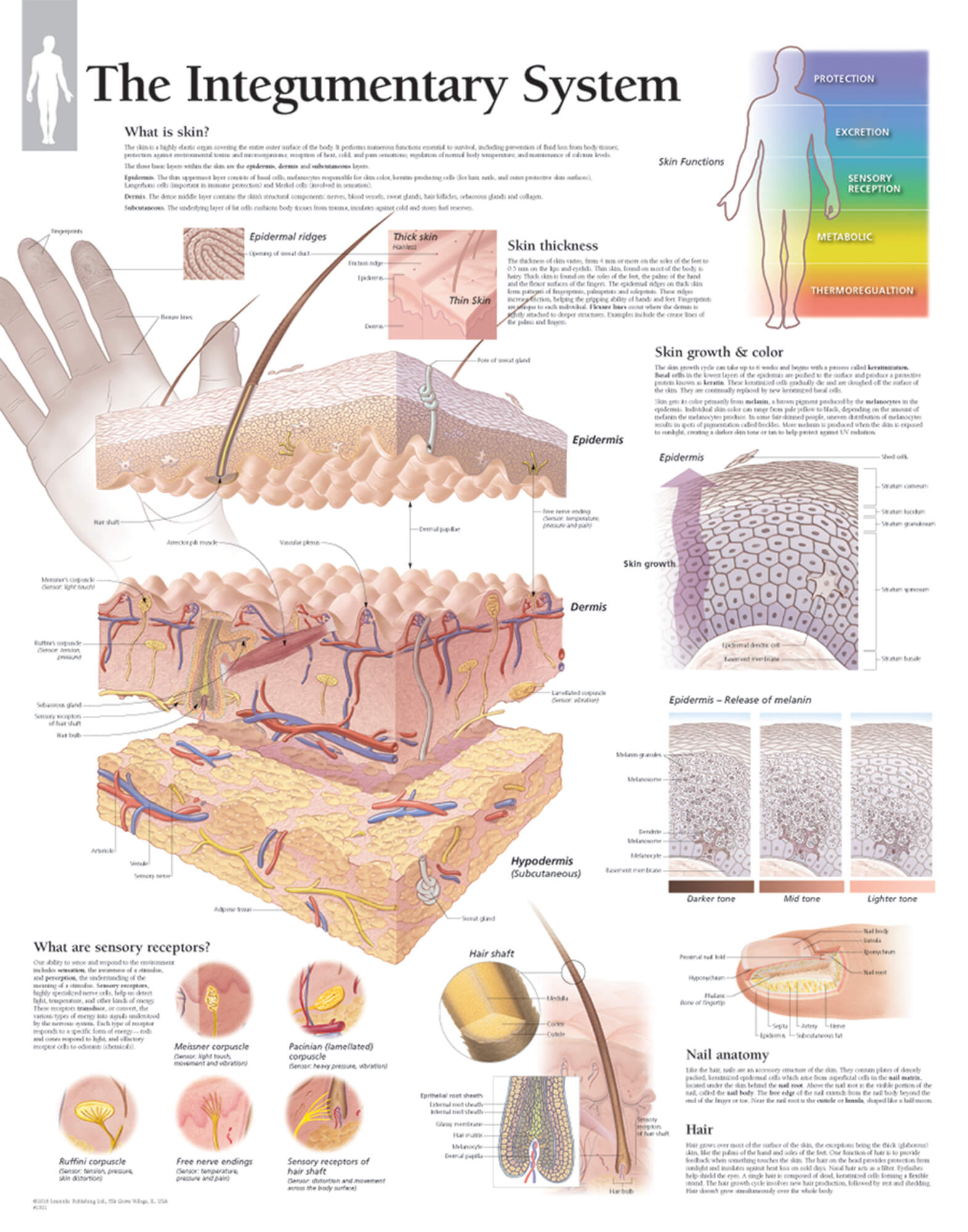 The Integumentary System Scientific Publishing