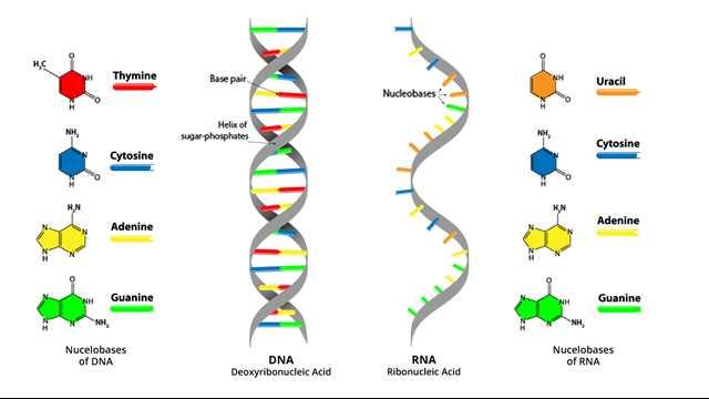 Un nuovo metodo per lo studio del ruolo dell'RNA nella risposta al danno del DNA