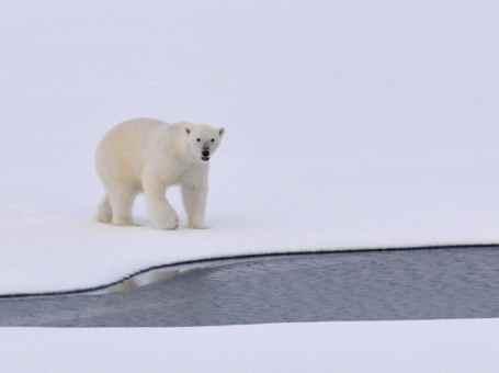 Polar Bear Questions