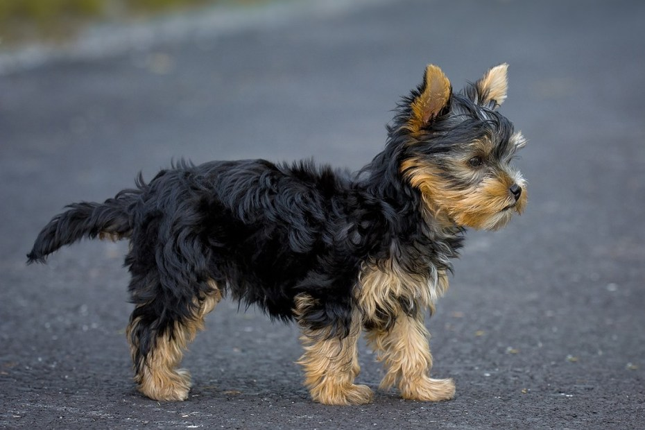 yorkshire chiot
